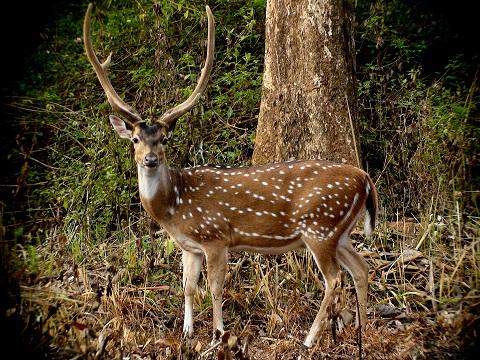 anxious_spotted_deer_antlers_innthewild