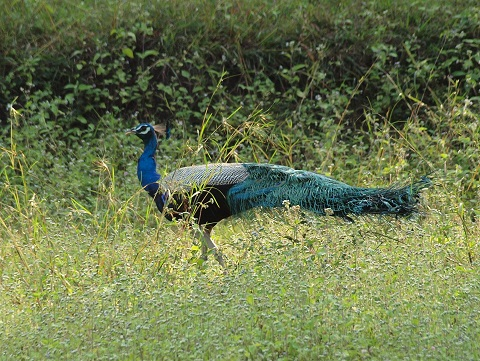 beautiful_peacock_innthewild
