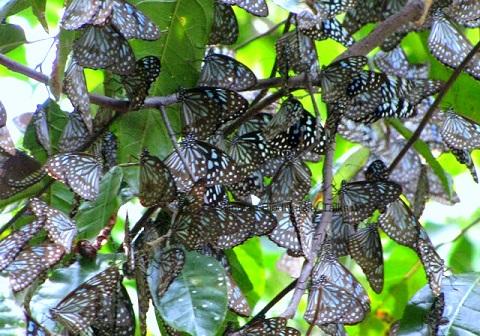 Blue Tiger Butterfly | InnTheWild Masinagudi resorts