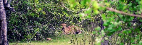 leopard-spotting-in-Masanagudi-Resorts
