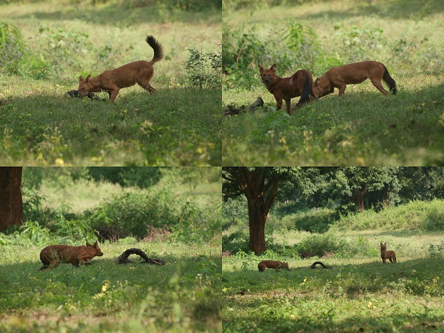 Indian Dhole at InnTheWild Masinagudi