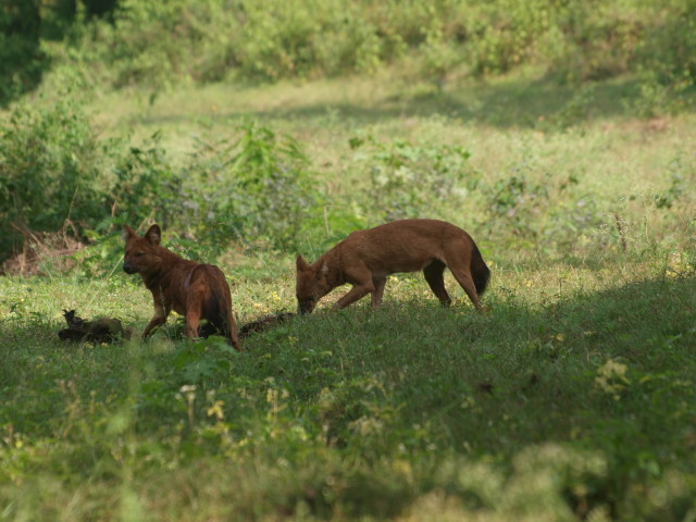 Wild dogs | Indian Dhole | Masinagudi Resorts | InnTheWild