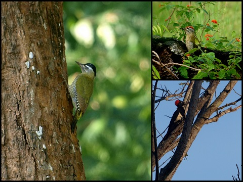 White-Bellied-Streak-Throated-Woodpeckers-Mudumalai