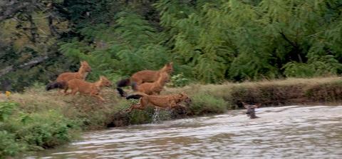 Wilddog Hunting Sambar Inside InnTheWild, Masinagudi