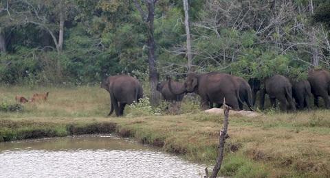 Beautiful Mudumalai Elephants Charging at the Wild Dogs   InnTheWild