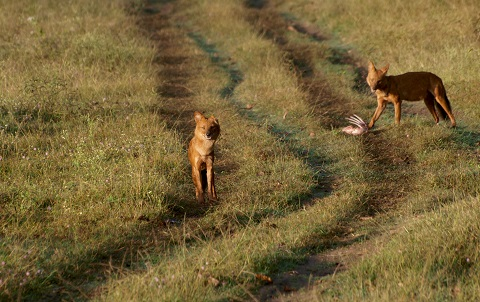 Dangerous Carnivores of Mudumalai | Dhole at InnTheWild