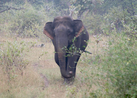 Encounters with Makna Elephant at InnTheWild, Masinagudi